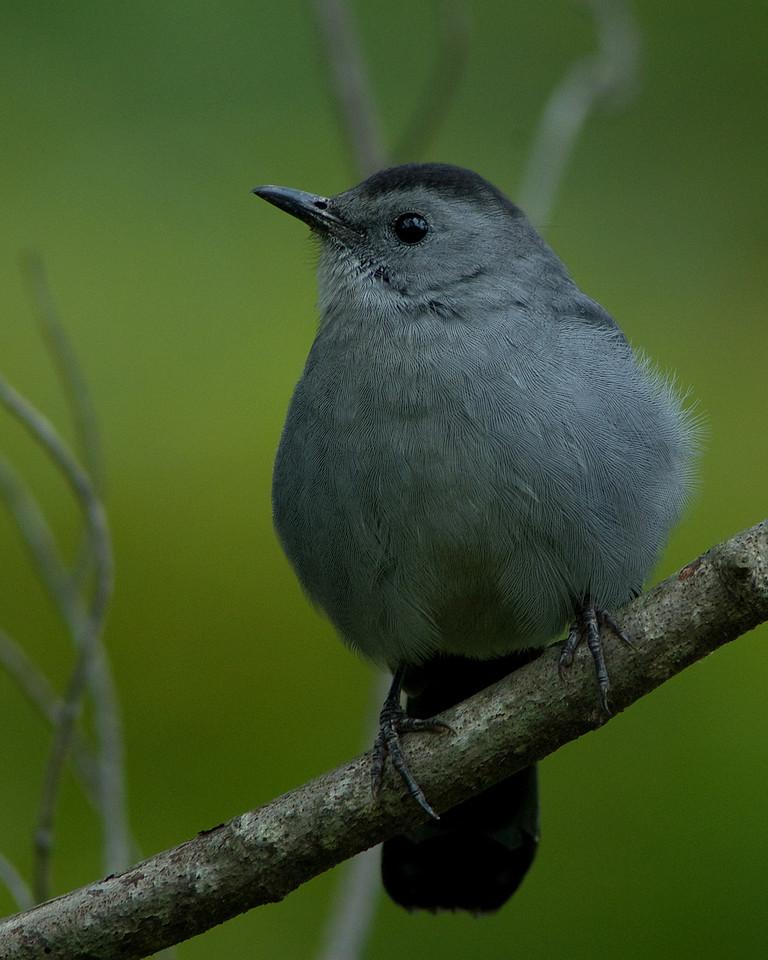 Grey Catbird<br /> <br /> Huntley Meadows