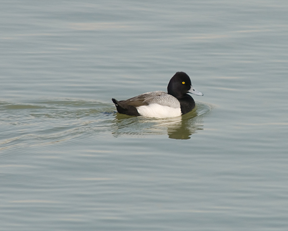 Lesser Scaup