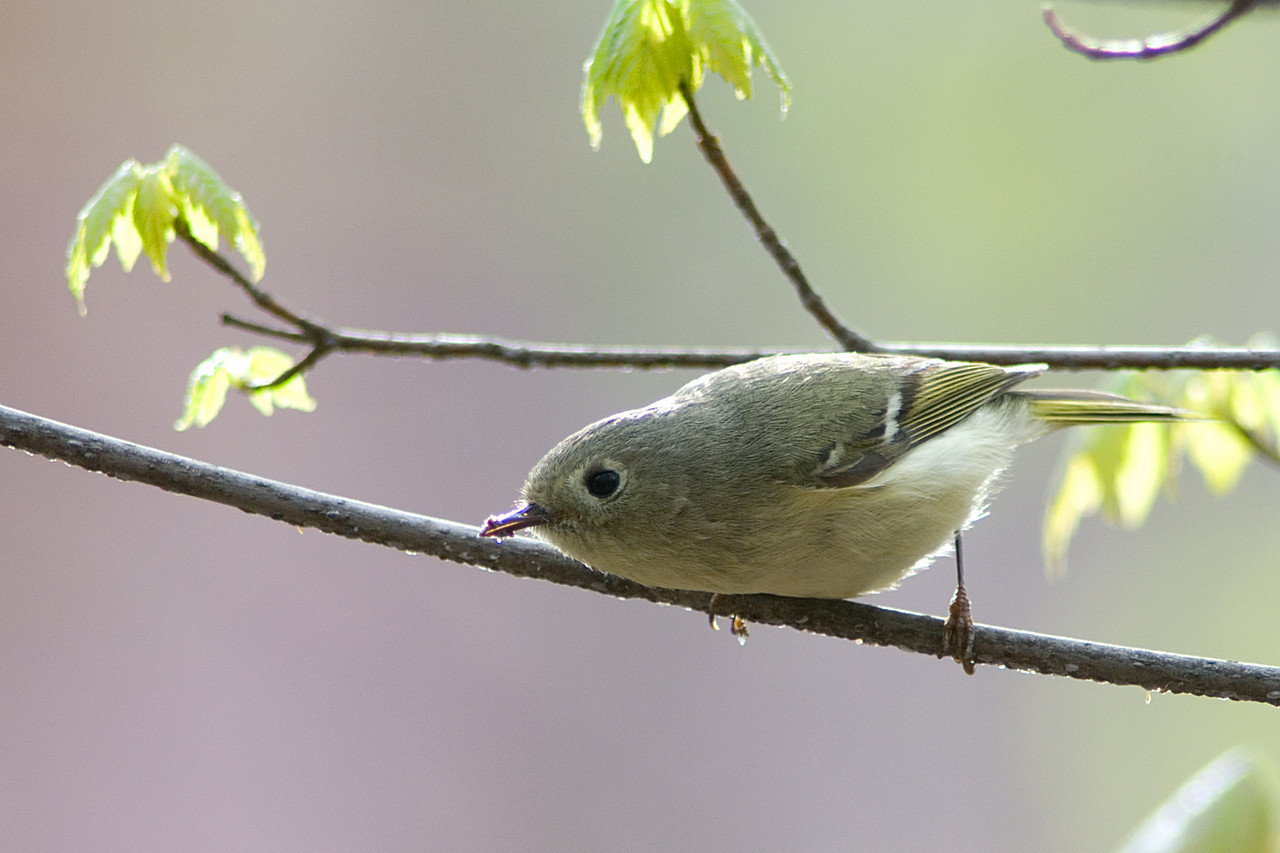 Ruby-crowned Kinglet<br /> <br /> Monticello Park in Alexandria, VA