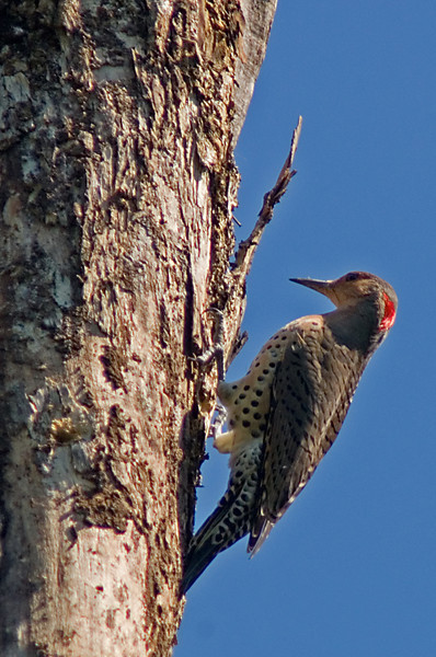 Northern Flicker  Continually mocking me with the laughter-type call over the past year, the Northern Flicker has alluded me for quite a while.  I still didn't get the shot I wanted, but at least this will tide me through until the next time.