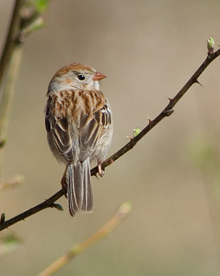Field Sparrow