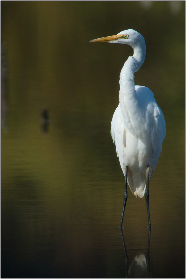 Great Egret<br /> <br /> I stepped into the thicket near the water to look for the Lincoln's Sparrows -- as I waited for them to pop up, this Egret flew in and landed right in front of me.  There was additional benefit in the great colorful reflections!<br /> <br /> Huntley Meadows