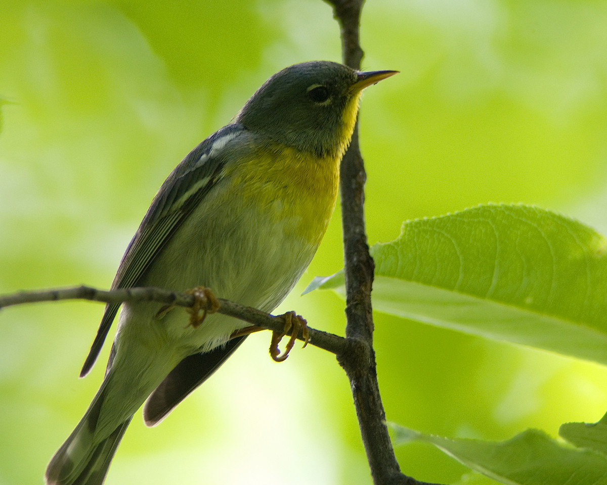 Northern Parula