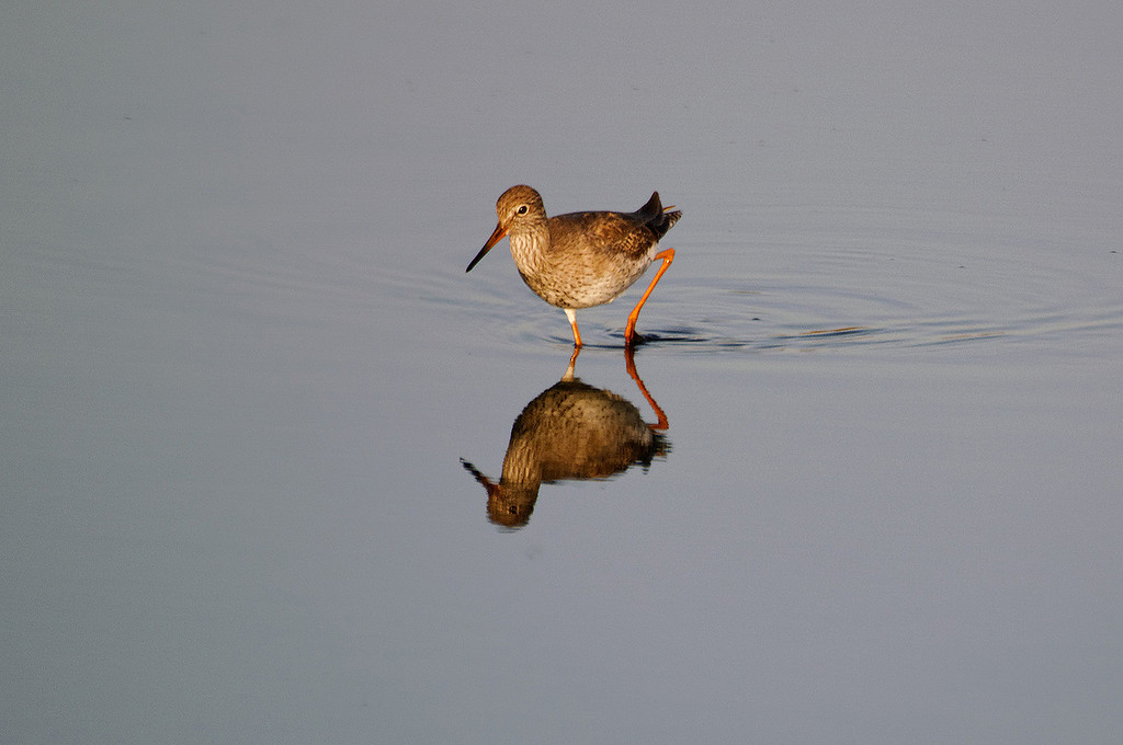 Perna-vermelha-comum [Tringa totanus]