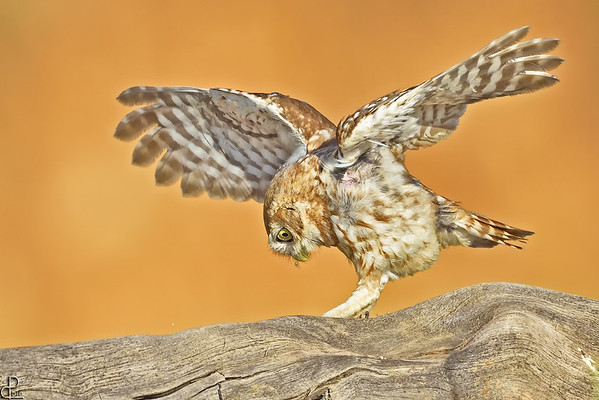 Little Owl - כוס החורבות