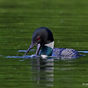 Common Loon at N. Twin Lake Minong, WI.  catching, manipulating and finally swallowing a good sized Bluegill