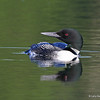 Loon on North Twin Lake - July 2013<br /> Nice sideways view