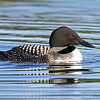 Loon on North Twin Lake - July 2013<br /> Early Morning Light