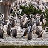 spotted shag colony, oamaru pier