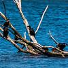 little black & litte pied cormorants