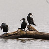 double-crested cormorants, mohawk river, ny