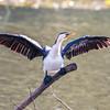 little pied cormorant, royal np, nsw australia
