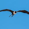 magnificent frigatebird, panama