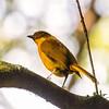 golden bowerbird, mt hypipamee np, queensland australia