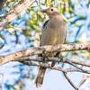 great bowerbird, mt molloy, queensland australia