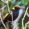 regent bowerbird, lamington np, queensland australia
