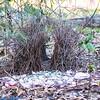 great bowerbird bower, queensland australia