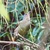 satin bowerbird, kuranda, queensland australia