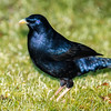 satin bowerbird, lamington np, queensland australia