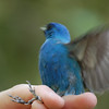 Indigo bunting, male MAPS project with Missouri Master Naturalists