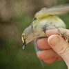 White eyed vireo MAPS project with Missouri Master Naturalists