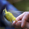 Canada warbler MAPS project with Missouri Master Naturalists