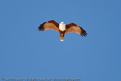 Brahminy Kite (Haliastur indus) - Noosa National Park Birds,  Monday 29 March 2010.