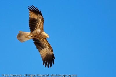 Bird of Prey (possibly Whistling Kite? (Haliastur sphenurus)) - Noosa National Park Birds,  Monday 29 March 2010.