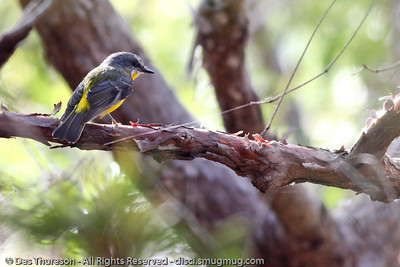 Eastern Yellow Robin??  (Eopsaltria australis) - Noosa National Park Birds,  Monday 29 March 2010.