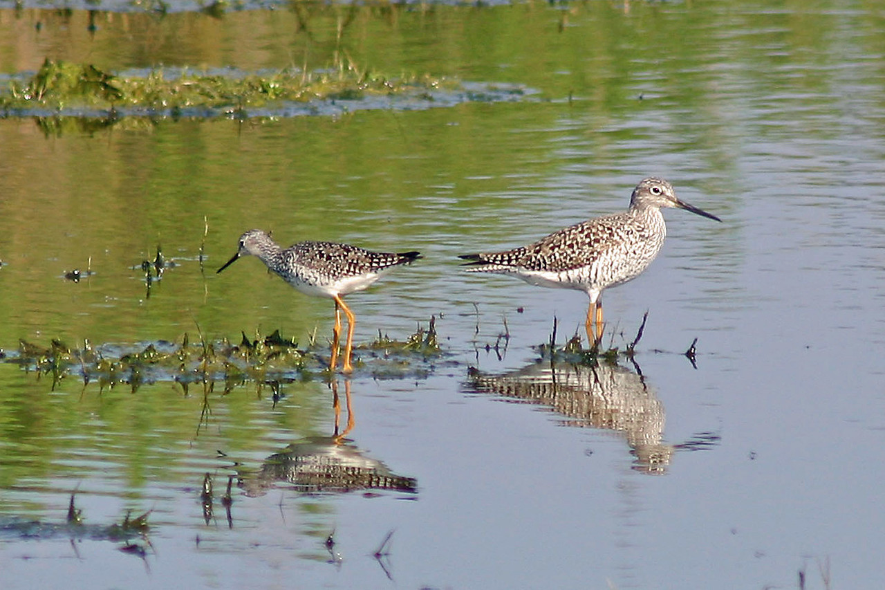 Lesser & Greater Yellowlegs