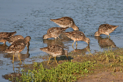 Long-billed & Short-billed Dowitcher