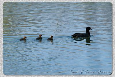 Galeirão (Fulica atra) - família Coot - a family