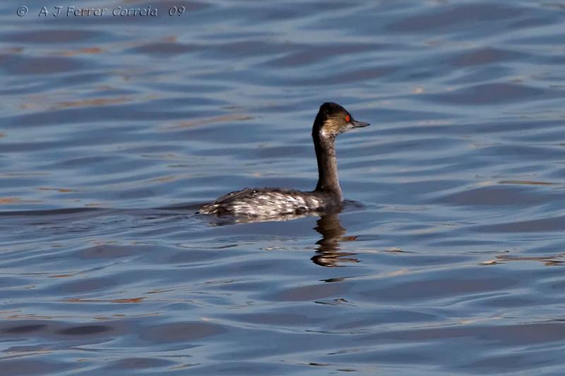 Mergulhão-de-pescoço-preto ou Cagarraz (Podiceps nigricollis) - Outono, Algarve Black-necked grebe - Autumn, Algarve