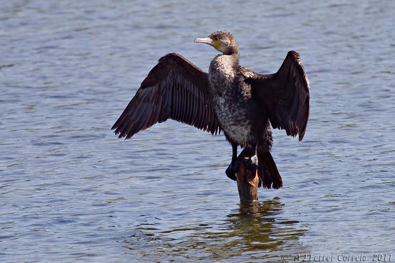 Corvo-marinho (Phalacrocorax carbo) Great cormorant