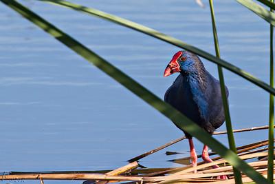 Camão (Porphyrio porphyrio) Purple Gallinule