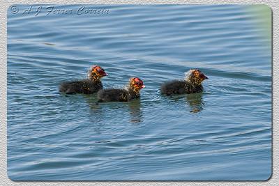 Galeirão - pintos muito pequenos Coot - very young chicks