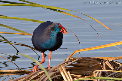 Camão (Porphyrio porphyrio) - Quinta do Lago (Algarve) Purple Gallinule