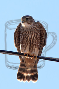 Taiga or Prarie Merlin. Hunts birds in level flight. It's about to exit stage left, flying across the road to the line on the other side. (On the wire above the exit to the Trans-Jordan landfill, SE corner of Salt Lake Valley, UT.) 26-Nov-11