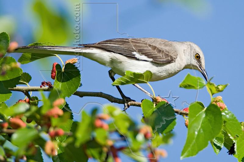 Northern Mockingbird,<br /> Galveston Island State Park, Texas