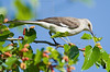 Northern Mockingbird,<br /> Galveston Island State Park, Texas