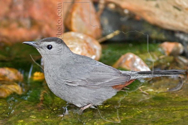 Gray Catbird,<br /> Quintana Neotropical Bird Sanctuary, Quintana, Texas