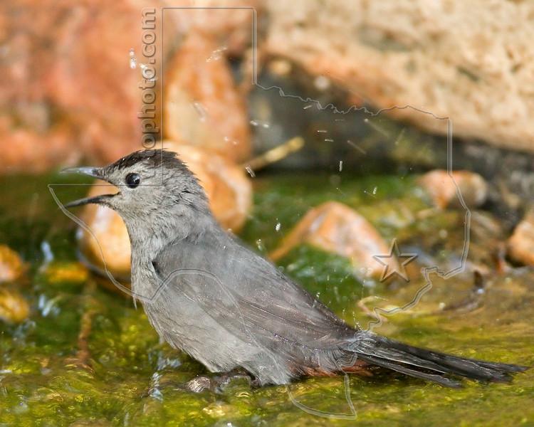 Gray Catbird, Bathing,<br /> Quintana Neotropical Bird Sanctuary, Quintana, Texas