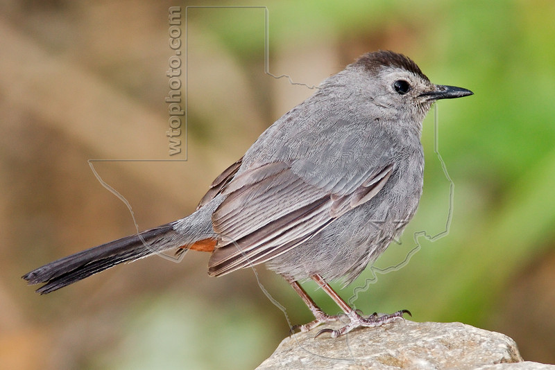 Gray Catbird,<br /> Quintana Neotropical Bird Sanctuary, Quintana, Texas