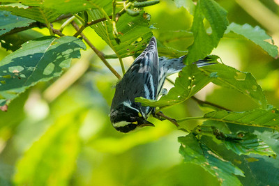 black=throated Gray Warbler
