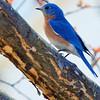 Bluebird-0130