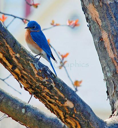 Bluebird-0129