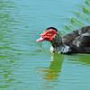 Duck-3931