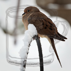Mourning dove perched on shepherd's hook, warming up after a night of wet snow. 21Nov10