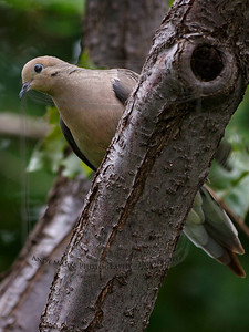 Tight crop, single point spot AF, hand held, auto focus on the dove's eye, focus did not shift to the limb..