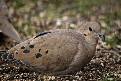 Mourning dove, sitting in the seed as usual.